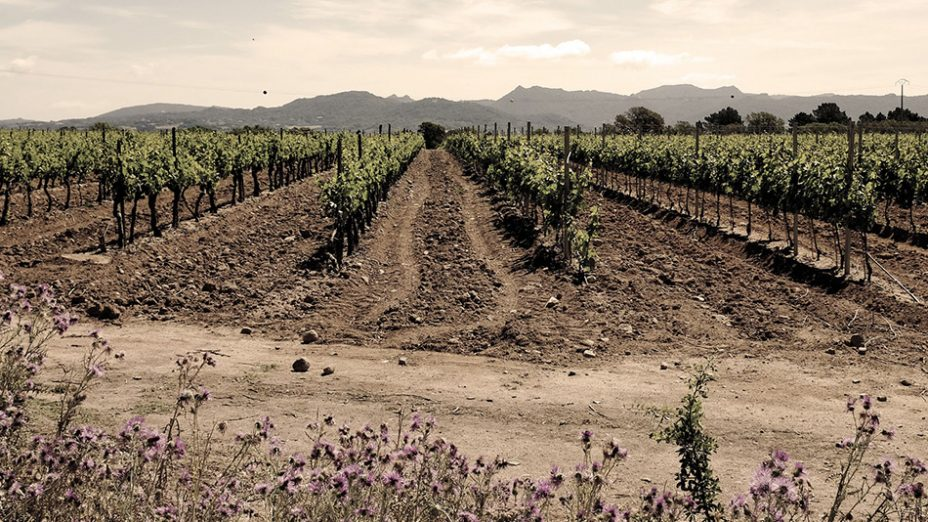 Santa Maria Valley - panoramic vineyard shot